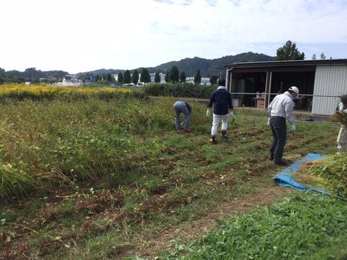 蕎麦栽培3